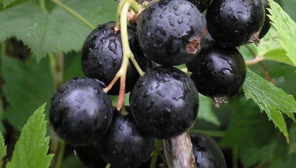 Черная смородина Сластена - ягода для гурманов и ценителей великолепного вкуса
