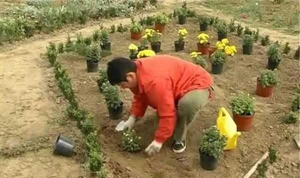Когда можно сажать цветы дубки 95