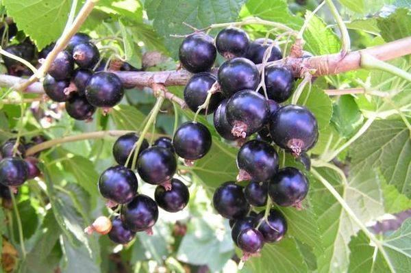 Черная смородина Сластена — ягода для гурманов и ценителей великолепного вкуса 74