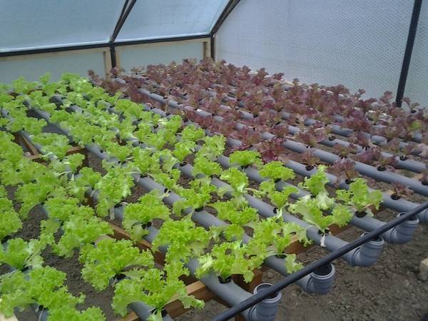 Выращивание салата в теплице зимой на продажу  основы начала бизнеса